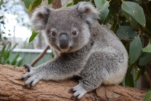 Karri the Koala header